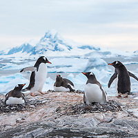 A group of gentoo penguins nest on top of an exposed rock with an iceberg-filled landscape in the background at Port Charcot at Booth Island, Antarctica.