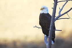 Perched Bald Eagle portrait, Jackson Hole, Wyoming