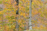 Common beech (Fagus sylvatica), Basilicata/Calabria, Pollino National Park, Italy. November 2008. Mission: Pollino National Park