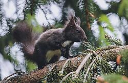 THEMENBILD - ein braunes Eichhörnchen (Sciurus) sitzt auf einem Ast eines Nadelbaums, aufgenommen am 06. Juni 2020 in Piesendorf, Oesterreich // a brown squirrel sits on a branch of a coniferous tree, in Piesendorf, Austria on 2020/06/06. EXPA Pictures © 2020, PhotoCredit: EXPA/Stefanie Oberhauser