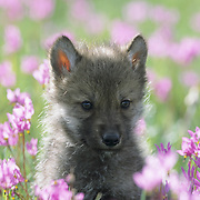 Gray Wolf (Canis lupus) pup in a field of blooming Shooting Star flowers in southwest Montana. Captive Animal