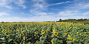 Field of open sunflowers with blue sky and clouds.