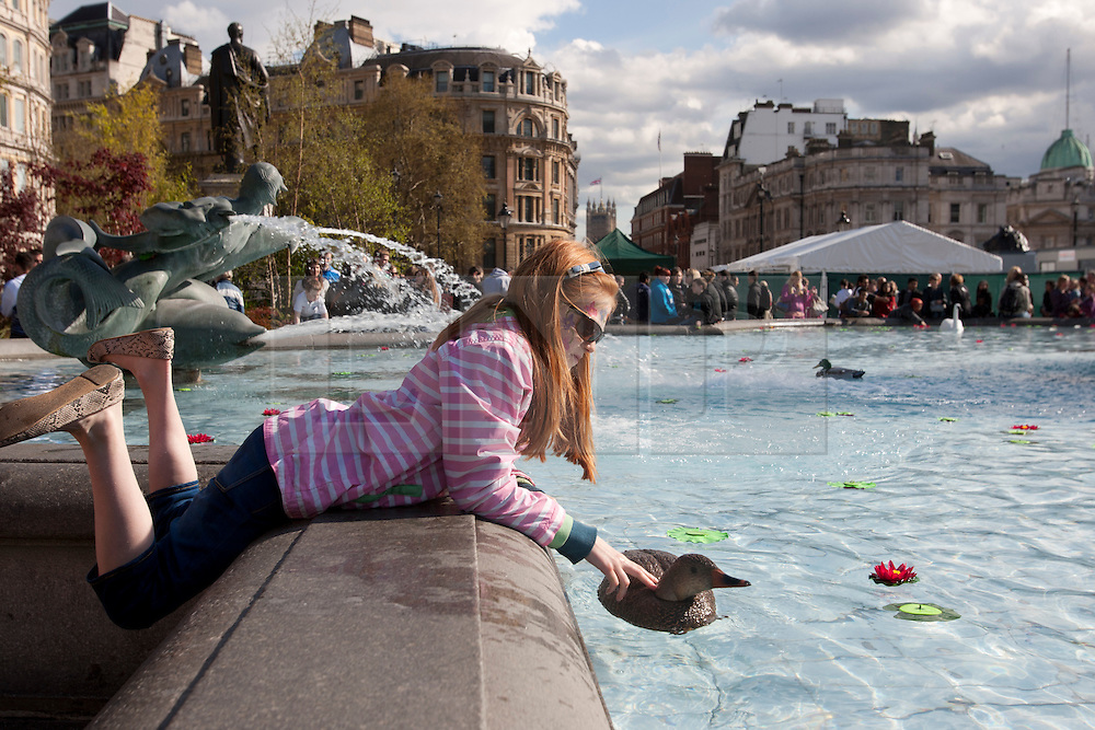 © licensed to London News Pictures. London, UK 21/04/2012. Esme Davies playing with plastic ducks in Trafalgar Square's pools as the London landmark transformed into an English garden ahead of St George's Day. Photo credit: Tolga Akmen/LNP