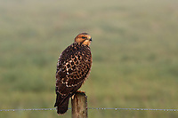 I was out for an early morning sunrise shoot and found this Hawk perched on a fencepost.  The glow of the early morning sun lit up the hawk witha beautiful golden glow...©2009, Sean Phillips.http://www.Sean-Phillips.com