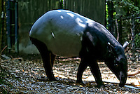 Tapir / Woodland Park Zoo, Seattle