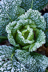 Hoar frost on savoy cabbage
