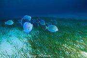 blue tang surgeonfish or blue doctorfish, Acanthurus coeruleus, feeding on turtle grass, Thalassia testudinum, and manatee grass, Syringodium filiforme, Belize, Central America ( Caribbean Sea )