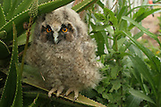 young Long-eared Owl (Asio otus) Israel Spring April 2007
