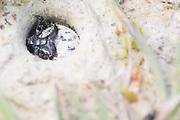 Tiger beetle larva (Cicindela campestris) at burrow entrance. Surrey, UK.