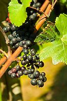 Vineyards, the medieval city of Meersburg on Lake Constance (Bodensee), Baden-Württemberg, Germany
