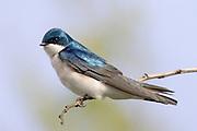 Tree Swallow.(Trachycineta bicolor).San JoaquinMarsh, California