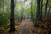 A woodland path through a wood near Stenton Ponds, popular with dog walkers Glenrothes, Fife. Scotland.