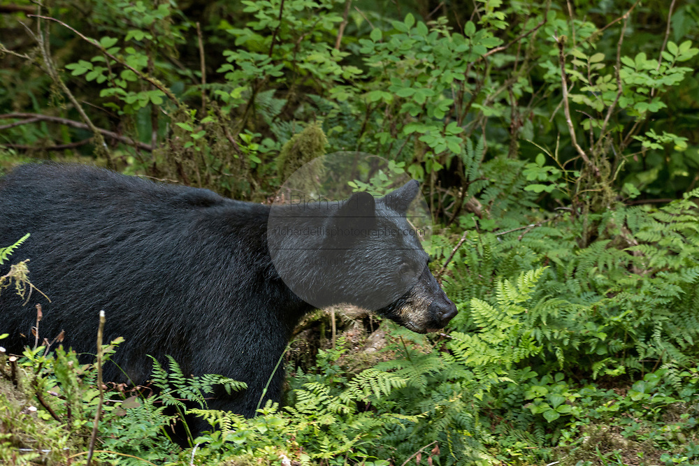 An adult American black bear pauses in a fern field in the temperate rain forest at Anan Creek in the Tongass National Forest, Alaska. Anan Creek is one of the most prolific salmon runs in Alaska and dozens of black and brown bears gather yearly to feast on the spawning salmon.