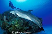 Spot, a wild, lone sociable bottlenose dolphin, Tursiops truncatus, with Jason Belport, Cayman Islands ( Caribbean Sea ) MR 281