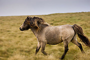 Pony on the moor, Dartmoor, Devon,  United Kingdom