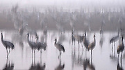 a large flock of Common crane (Grus grus) Silhouetted at dawn. Large migratory crane species that lives in wet meadows and marshland. It has a wingspan of between 2 and 2.5 metres. It spends the summer in northeastern Europe and western Asia, and overwinters in north Africa. It feeds on vegetation, insects, frogs and snakes. Photographed in the Hula Valley, Israel, in December