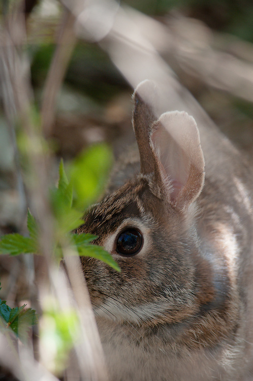 Eastern Cotton Tail Rabbit hiding i the brush