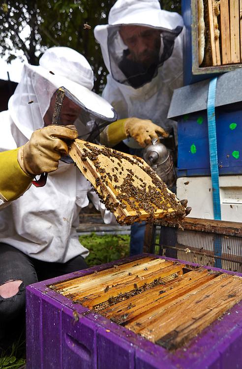 Oslo, 20140716<br /> Geitmyra Birøkterlag på Geitmyra skolehage på Sagene i Oslo. Avling av dronninger fra larver, honning, mm.<br /> Foto: Paul Paiewonsky / Dagbladet MAGASINET