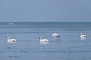 A goldeneye (Bucephala clangula) flies through loose group of mute swans (Cygnus olor) swimming in calm sea between bits of ice, Kaltene Seacoast, Kurzeme, Latvia Ⓒ Davis Ulands | davisulands.com