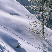 An animal trail on a snowy slope during the winter in Yellowstone National Park.