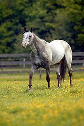 Appalooza<br /> Appaloosa Horse Club Belgium - Herk de Stad 2003<br /> Photo © Dirk Caremans