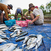 CAPTION: Local Tapak community fishermen prepare their fish for the market. Their livelihoods are increasingly at risk from flooding and unpredictable weather patterns. When it floods, fish farmers often lose their entire stock of fish. As part of an ACCCRN project in Semarang, local community members have been planting seedlings around their fishponds in order to protect the ponds from further erosion and flooding. LOCATION: Tapak, Semarang, Indonesia. INDIVIDUAL(S) PHOTOGRAPHED: N/A.