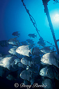 Atlantic spadefish, Chaetodipterus faber, on the wreck of the Blue Fire, Biscayne National Park, Homestead, Florida, near Miami, USA ( Western Atlantic Ocean )