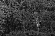 A white tree stands out in the lush forest. Chalillo dam, Cayo District, Belize.