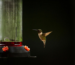 Beautiful ruby-throated hummingbird enjoying the feeder hanging on my back deck. This little bird is very aggressive and territorial toward other humming birds.