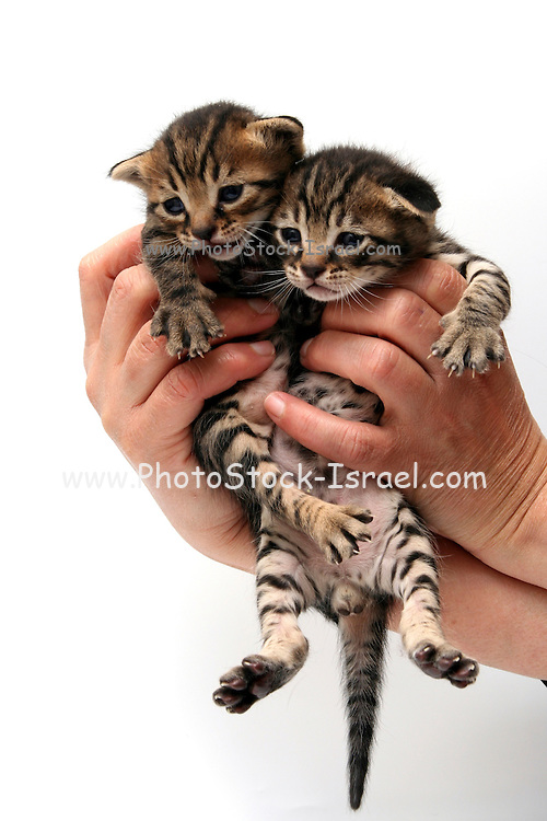 Cutout of man's hands holding two one week old kitten on white background