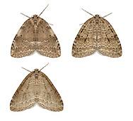 70.109 (1797)<br /> Autumnal Moth -  Epirrita autumnata