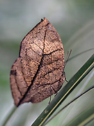 A macro shot of a Dead Leaf Butterfly (Kallima paralekta). This butterfly exactly resembles a dead leaf when the wings are folded. It can be found in Indonesia.