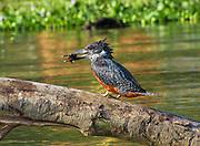 Giant Kingfisher (Megaceryle maxima) with prey in its large bill, Lake Manyara, Tanzania, East Africa.
