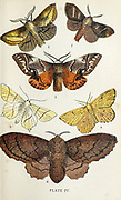 Plate IV 1. Drinker. 2. Fox Moth. 3. Kentish Glory. 4. Orange Moth. 5. Swallow-tailed Moth. 6. Lappet Moth. from the book ' The common moths of England ' by Wood, J. G. (John George), 1827-1889 Publication date 1878 in London : by G. Routledge and Sons