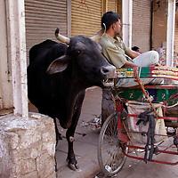 Asia, India, New Delhi. Cow and rickshaw in Old Delhi.