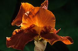 Iris 'Brindisi'