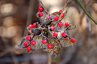 """The rosary pea is an invasive vine from Asia and Australia that has found a home in Florida, Georgia, Alabama and Arkansas. While these """"peas"""" may be useful in many shaker-percussion instruments, the black and red fruits are highly toxic. One ingested pea had the potential to be fatal to a healthy adult. This cluster of rosary peas was found in a suburban neighborhood in Fort Myers, Florida."""
