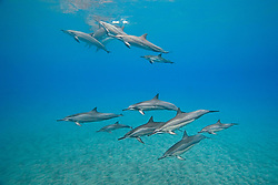 Long-snouted Spinner Dolphins with calves, Stenella longirostris, off Kona Coast, Big Island, Hawaii, Pacific Ocean
