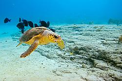 Loggerhead Sea Turtle, Caretta caretta, being cleaned by Blue Tangs, Acanthurus coeruleus, Sugar Wreck, West End, Grand Bahamas, Caribbean, Atlantic Ocean