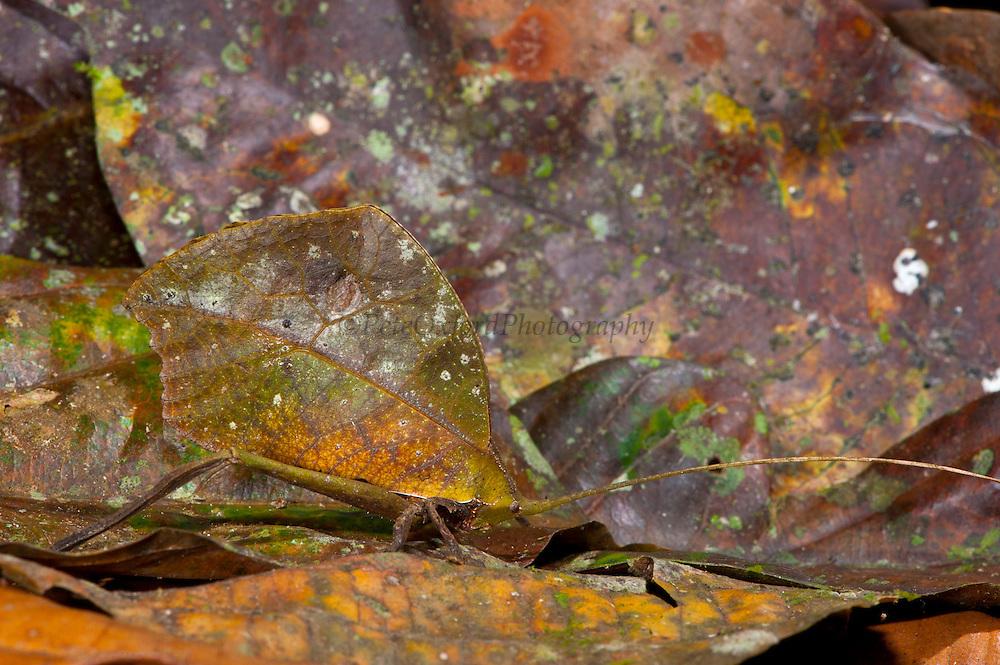 Dead-leaf Mossy Katydid (Typophyllum sp.)<br /> Yasuni National Park, Amazon Rainforest<br /> ECUADOR. South America