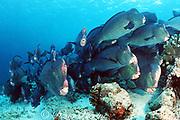 giant bumphead parrotfish, Bolbometopon muricatum, Sipadan Island, Sabah, Malaysia ( Celebes Sea / Western Pacific Ocean )