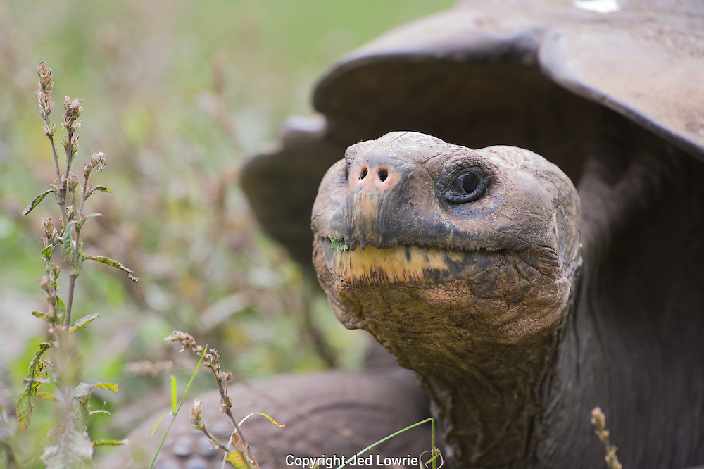 This tortoise was rather suspicious about me moving around so quickly, in relative terms of course.  Once I settled in to observe, he practically forgot I was there.