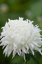 Chrysanthemum 'Louis Germ White'