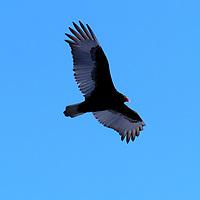 20190304-vultures