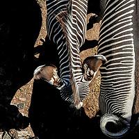#menageatrois  #zooh #zoo #zoozürich #zoozurich #zoologischergarten #tiere #tier #animals #animals @zoozuerich #zebra #schwarzweiss #blackandwhite #black #white #streifen #zoobesuch