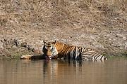 A Bengal tiger, Panthera tigris tigris, drinking, Bandhavgarh National Park, India.