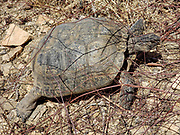 Desert tortoise. 49 Palms Oasis Trail. Joshua Tree National Park, near the City of Twentynine Palms, California, USA. The park straddles the cactus-dotted Colorado Desert and the Mojave Desert, which is higher and cooler.