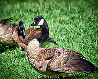 Canada Geese. Image taken with a Fuji X-T1 camera and 100-400 mm OIS lens.
