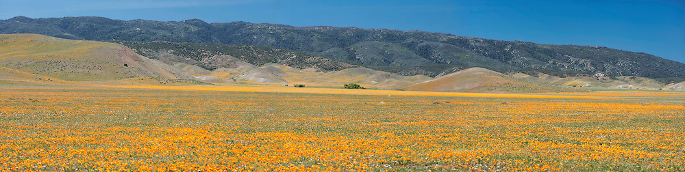 Panoramic View of California Poppies in the Antelope Valley