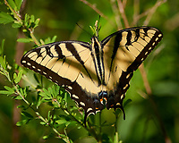 Tiger Swallowtail Butterfly. Sourland Mountain Preserve. Image taken with a Nikon D800 camera and 300 mm f/2.8 lens (ISO 100, 300 mm, f/2.8, 1/2000 sec).